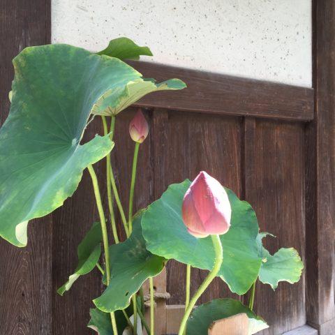 7月19日蓮のつぼみ